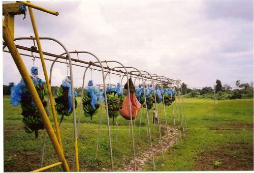 Costa Rica Plantations  bananiers.jpg